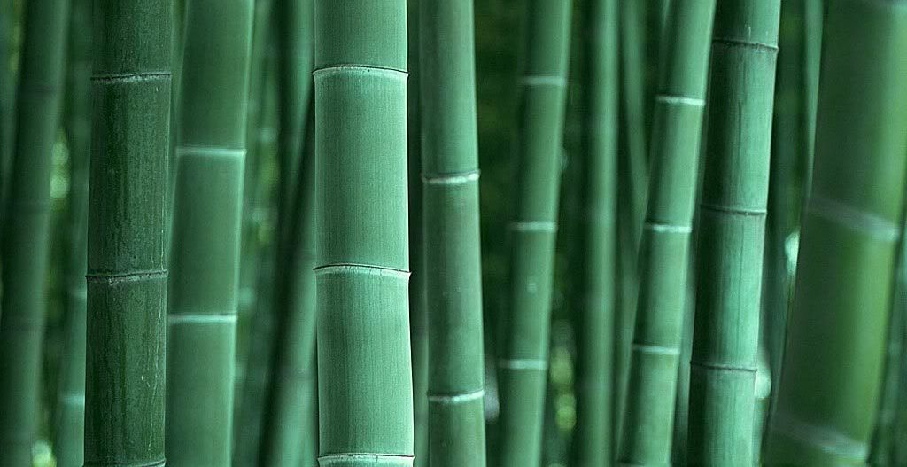 Bamboo-background